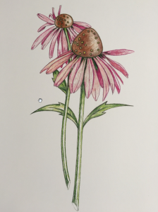 Drawing cone flowers with colored pencils @ 57 Main avenue, Ocean grove, Monmouth County, New Jersey 07756